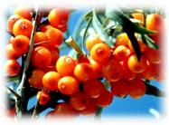 Seabuckthorn Pulp Oil Cas No.: 135669-41-9